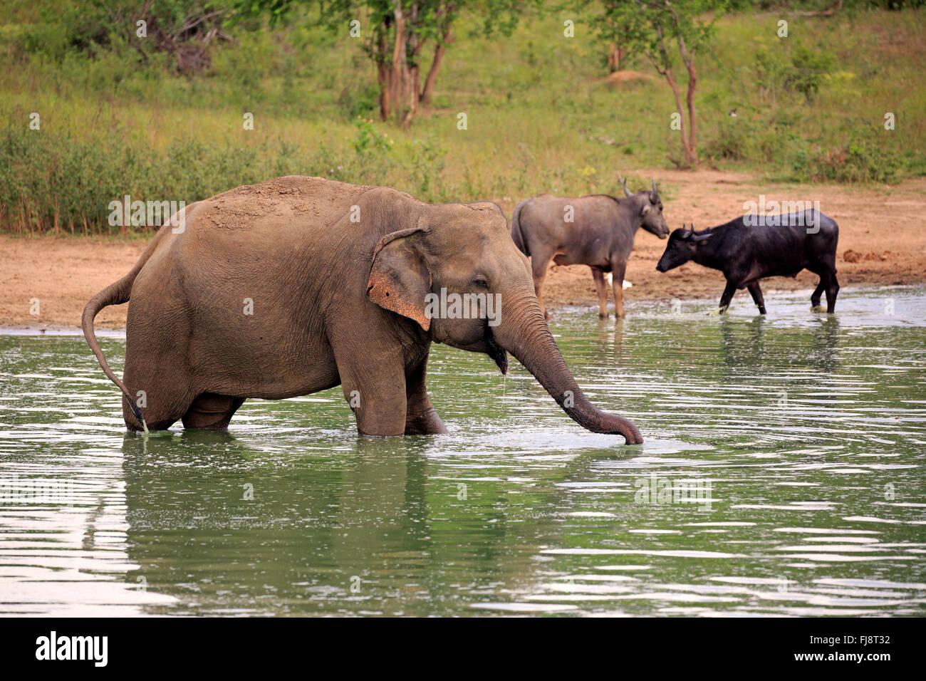 L'éléphant, du Sri Lanka, de l'éléphant d'Asie Nationalpark Udawalawe, Sri Lanka, Photo Stock