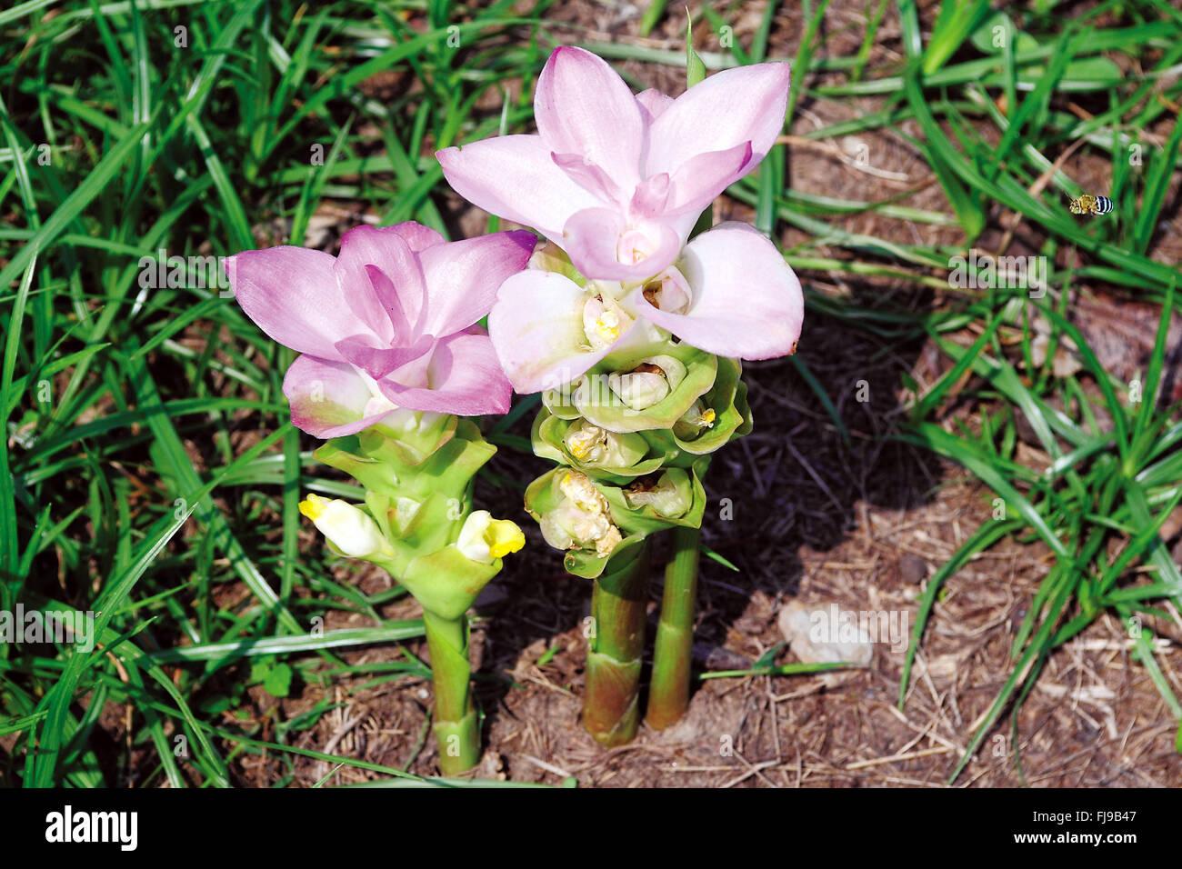 le curcuma plante fabulous curcuma zedoaria source wikipedia with le curcuma plante. Black Bedroom Furniture Sets. Home Design Ideas
