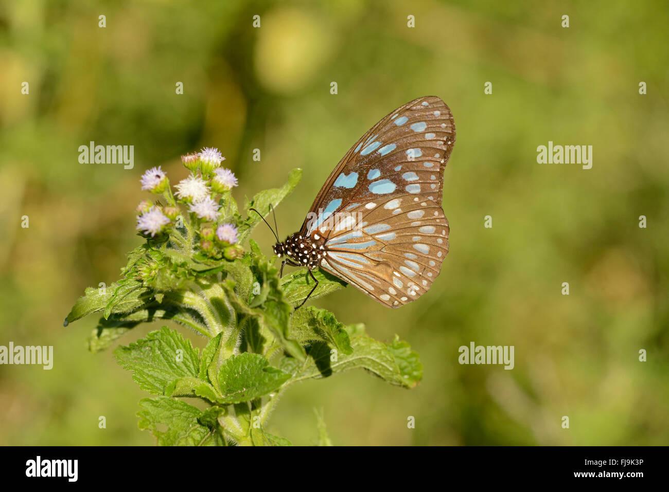 Tigre bleu de l'Afrique (Papillon Tirumala petiverana) adulte perché sur les montagnes de l'usine, Photo Stock