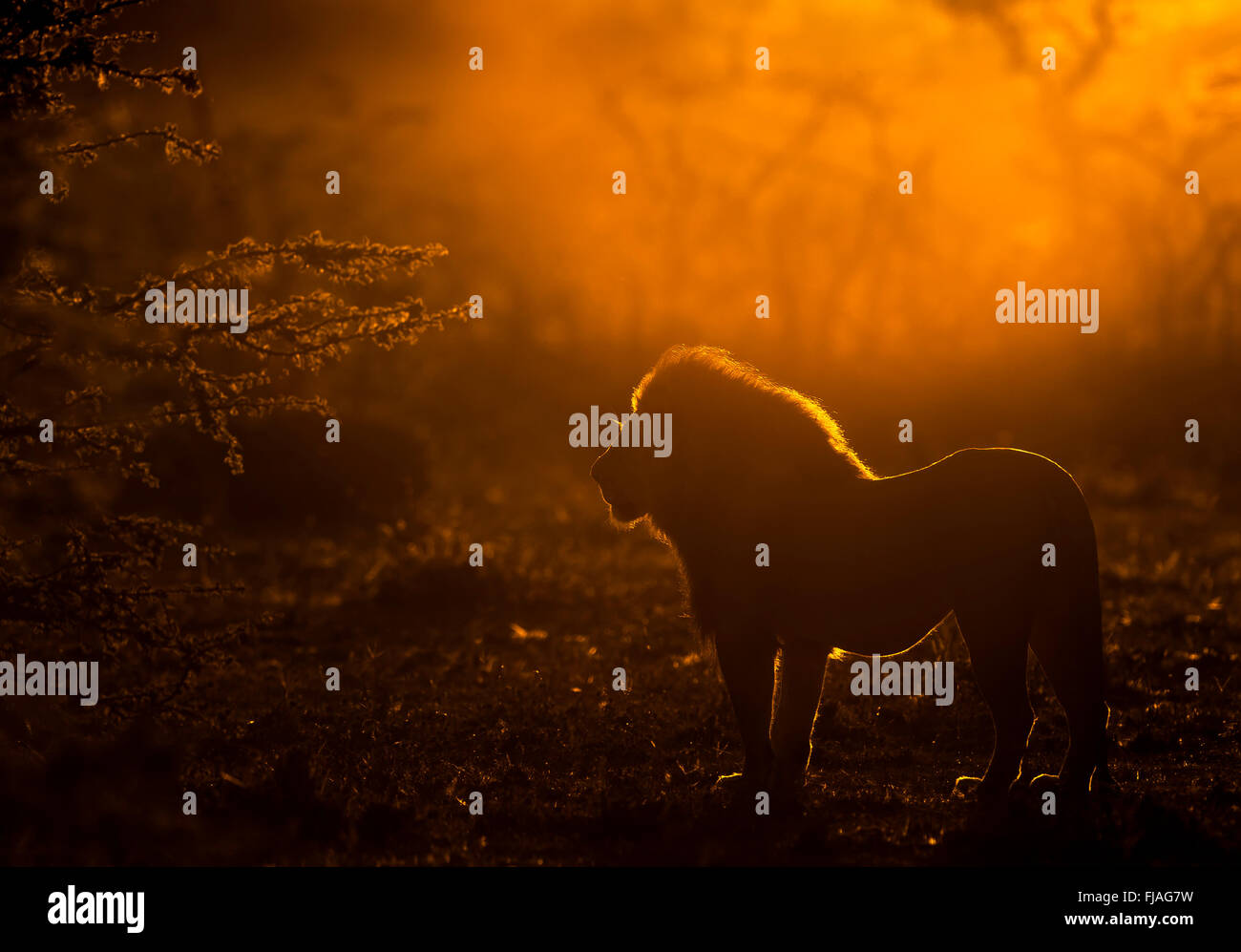Mâle adulte lion (Panthera leo) à l'aube Mara conservancy Naboisho Afrique Kenya Photo Stock