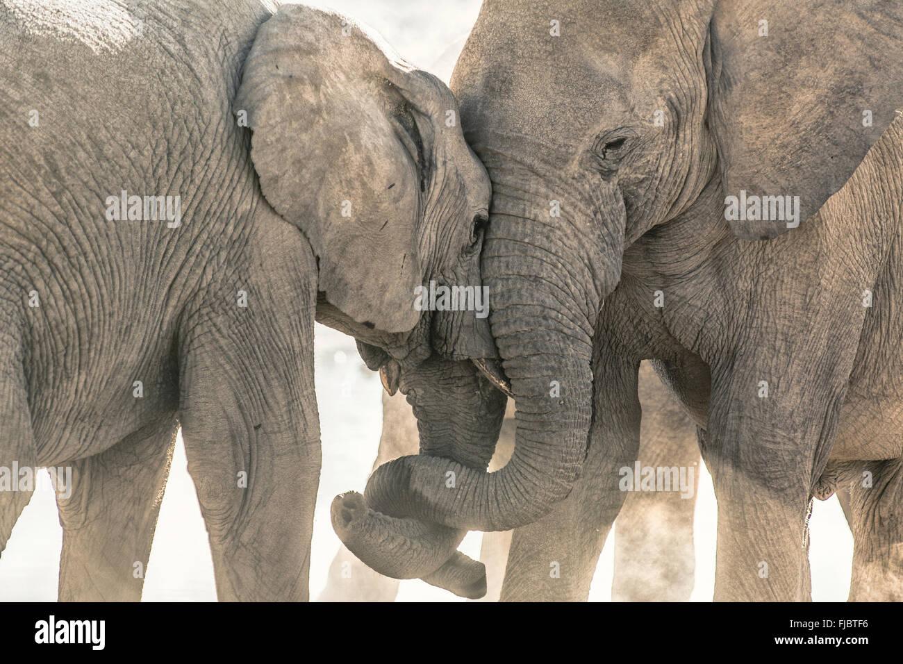 Deux éléphants s'affrontent Banque D'Images