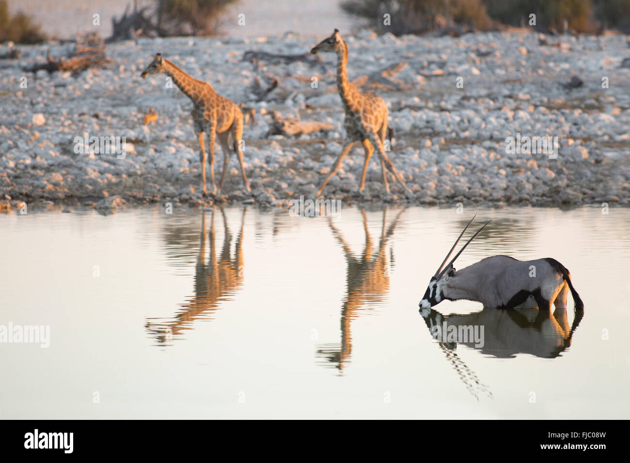 La girafe et l'Oryx à un étang Photo Stock
