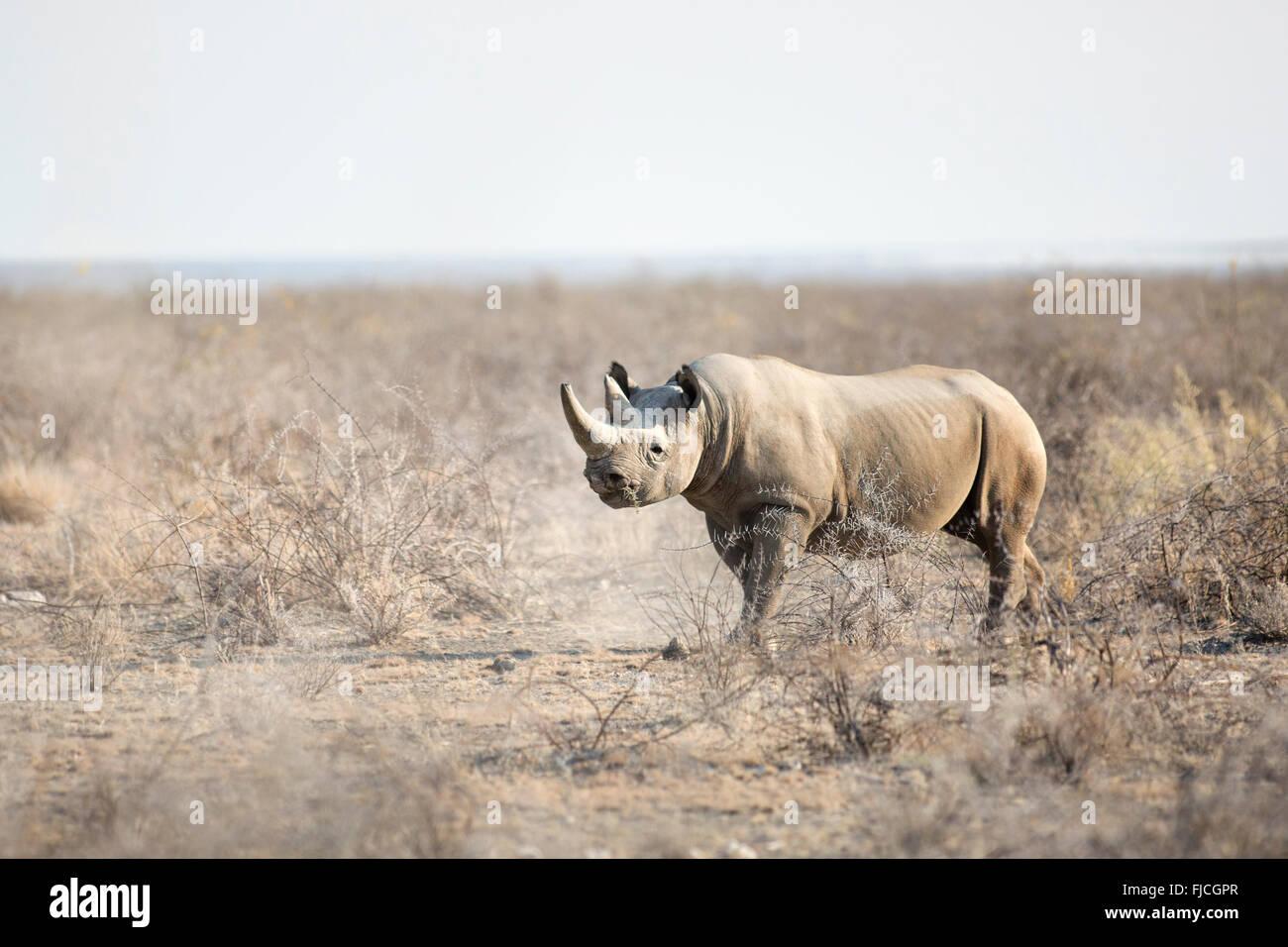 Un rhinocéros noir Photo Stock