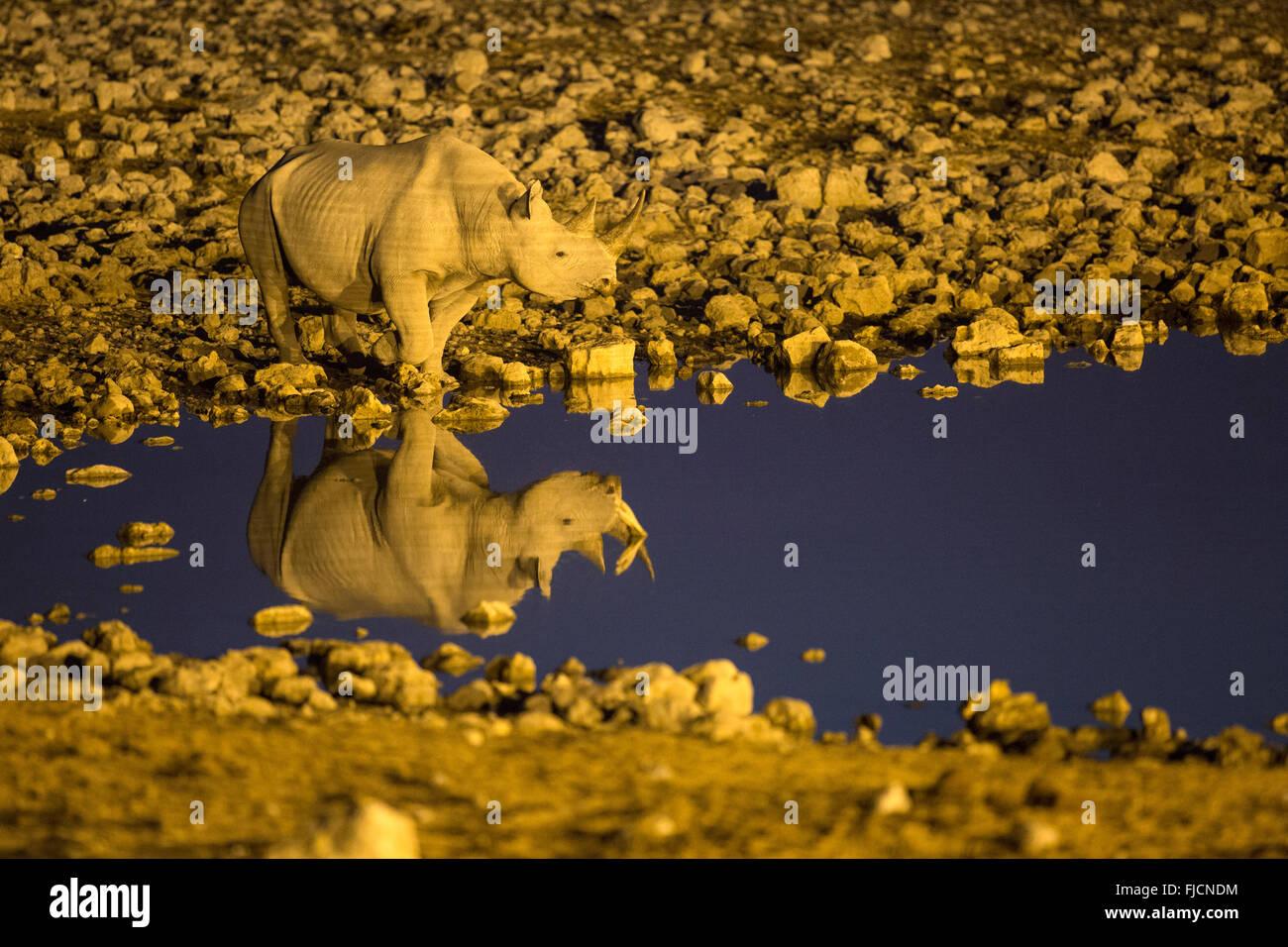 Rhino manger dans un trou d'eau éclairé Photo Stock