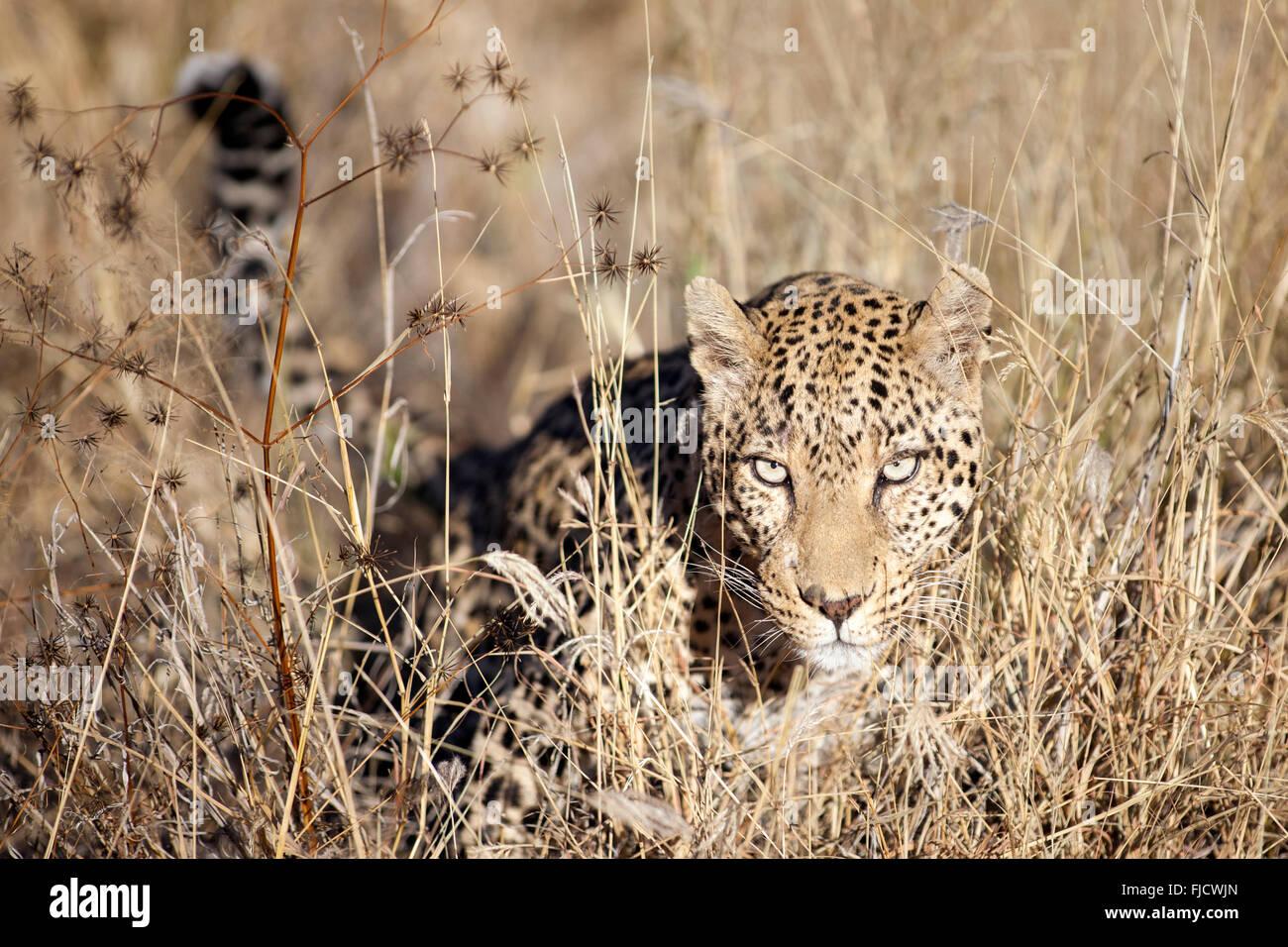 Un léopard chasse dans la brousse Photo Stock