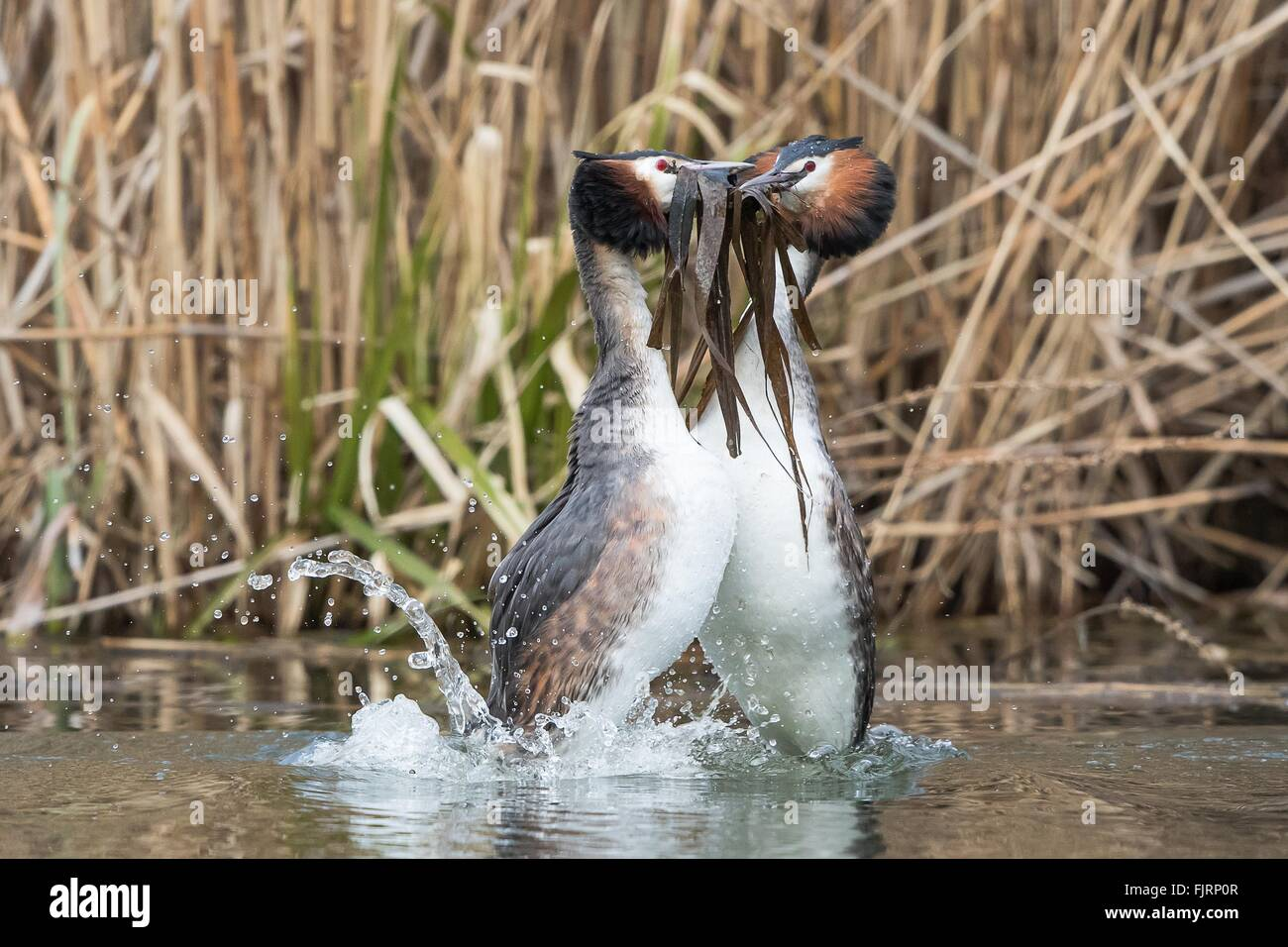 Grèbe huppé (Podiceps cristatus), l'accouplement du nombre de couples nicheurs, paire d'effectuer Photo Stock