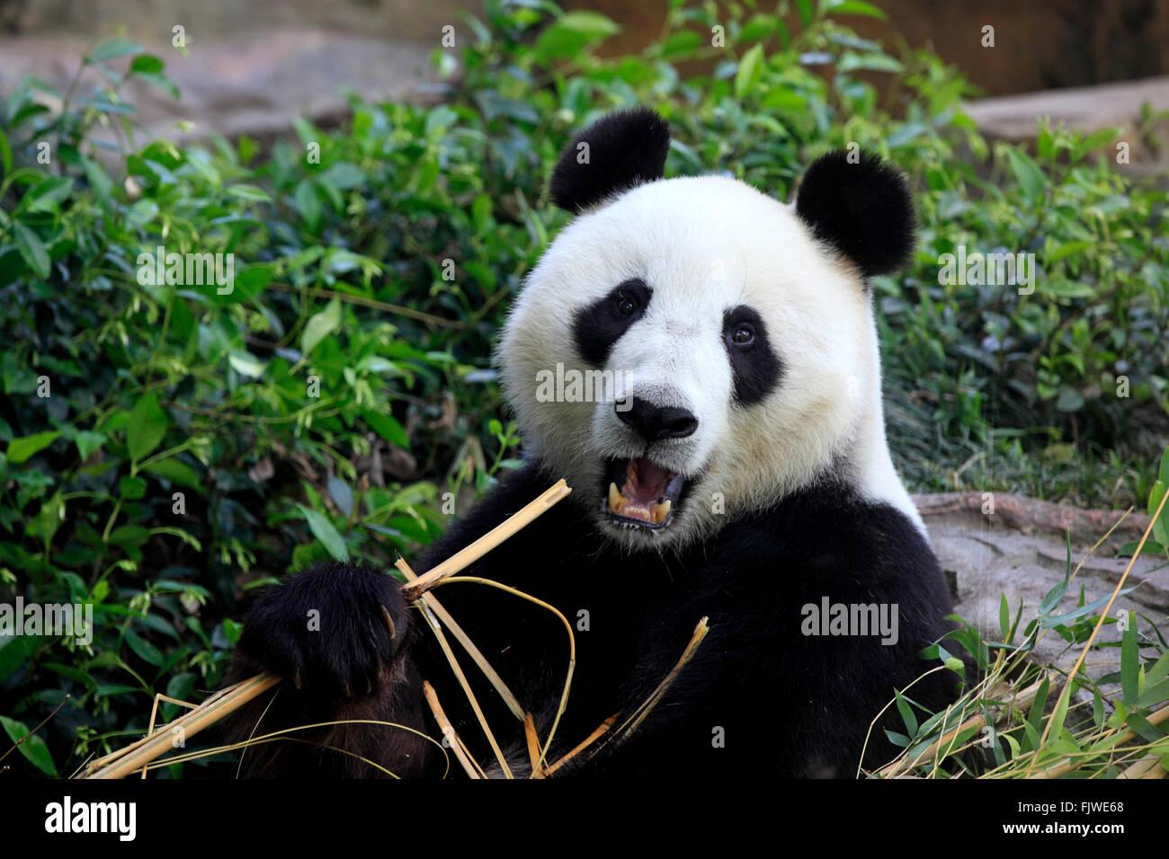 Le Panda Géant, Ailuropoda melanoleuca (Asie /) Photo Stock