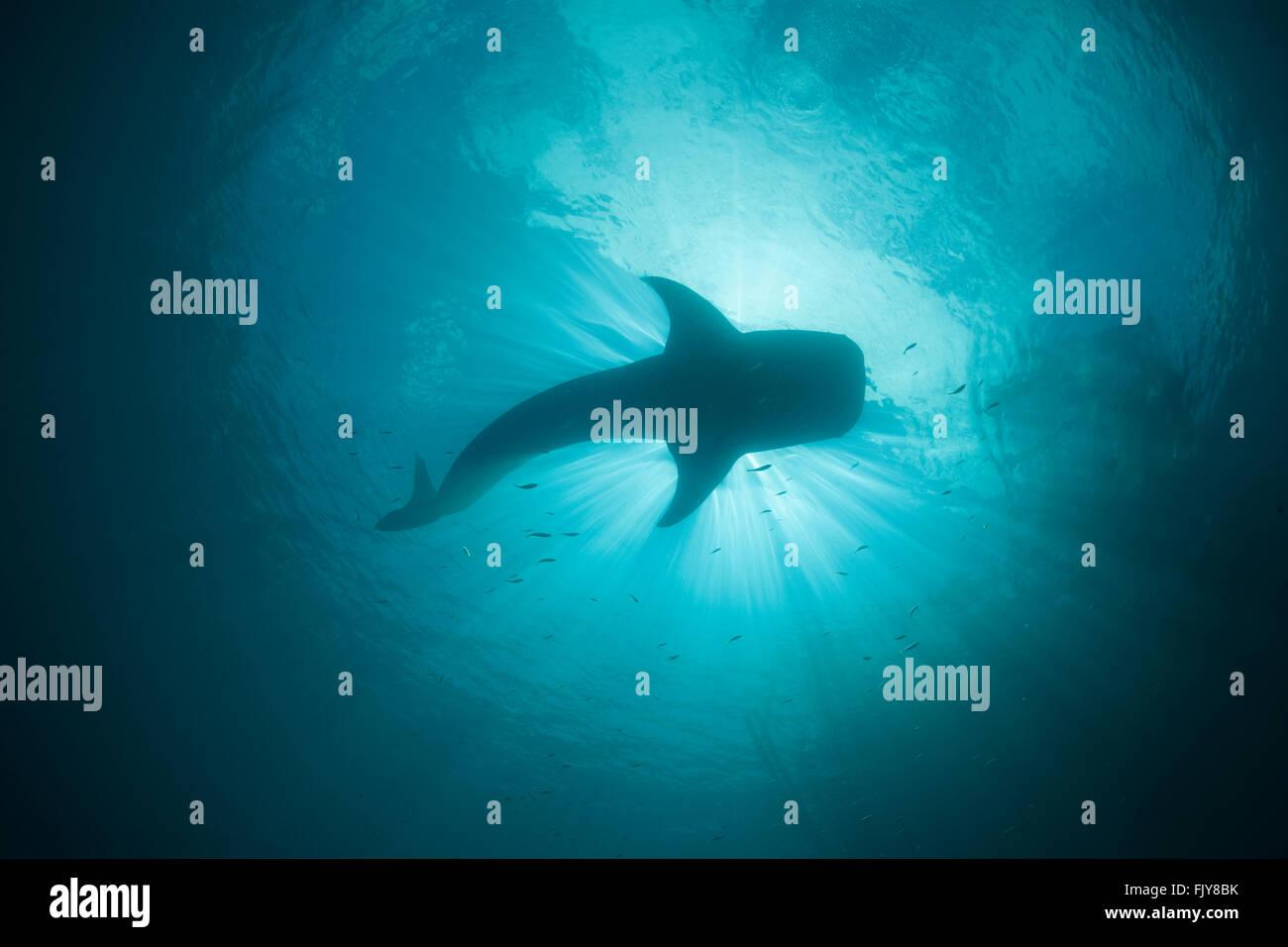 """La pêche du requin-baleine, près d'un dispositif appelé """"Bagan'. Bagans sont de grands bateaux ancrés fixes qui ont un ourigger spanning net f Banque D'Images"""