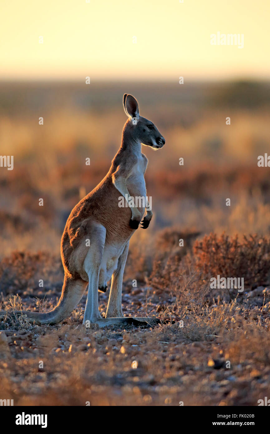 Kangourou rouge, mâle adulte, alerte, Sturt Nationalpark, New South Wales, Australie / (Macropus rufus) Photo Stock