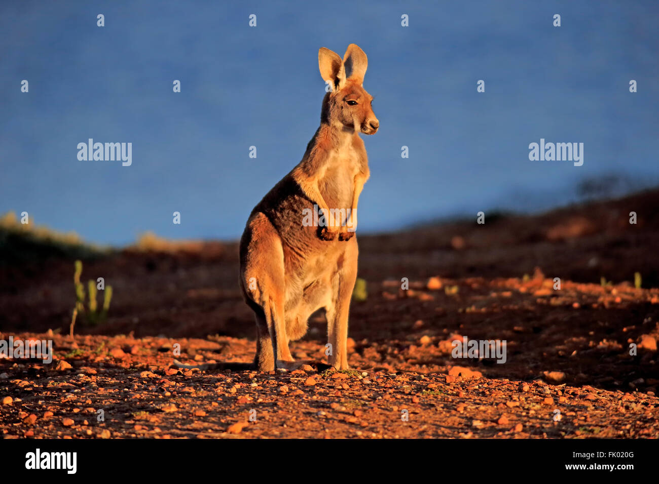 Kangourou rouge, adulte, Sturt Nationalpark, New South Wales, Australie / (Macropus rufus) Photo Stock