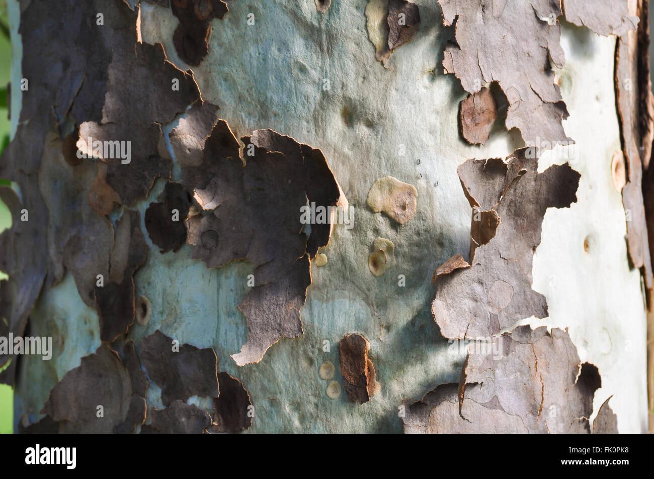 L'écorce des arbres Peeling Photo Stock