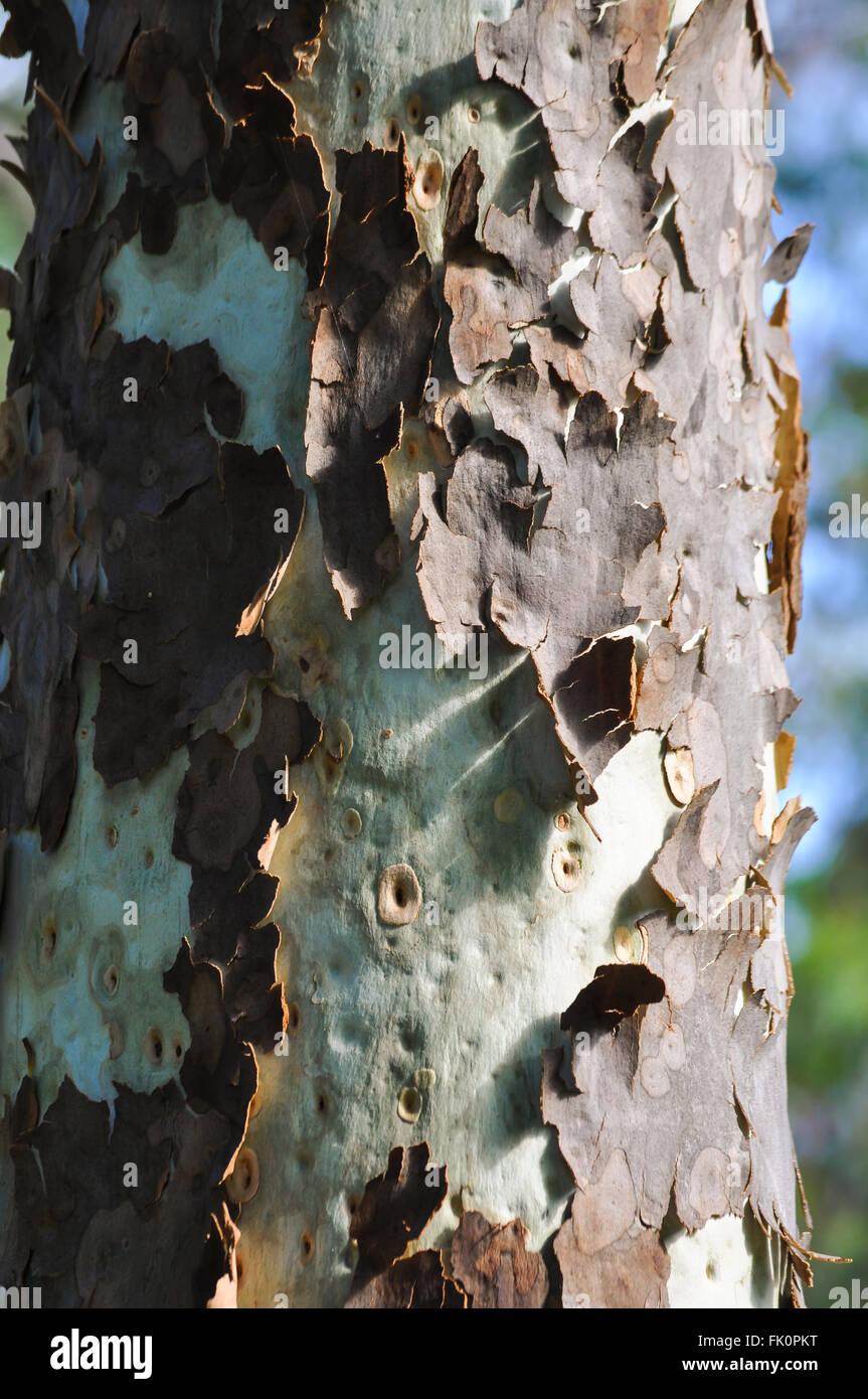 L'écorce des arbres Peeling 2 Photo Stock