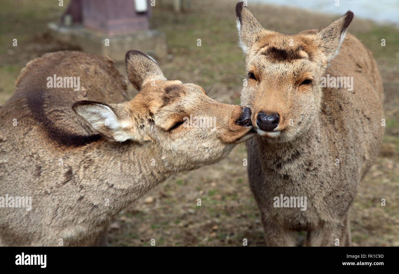 Le Japon, Nara, cerfs, Photo Stock