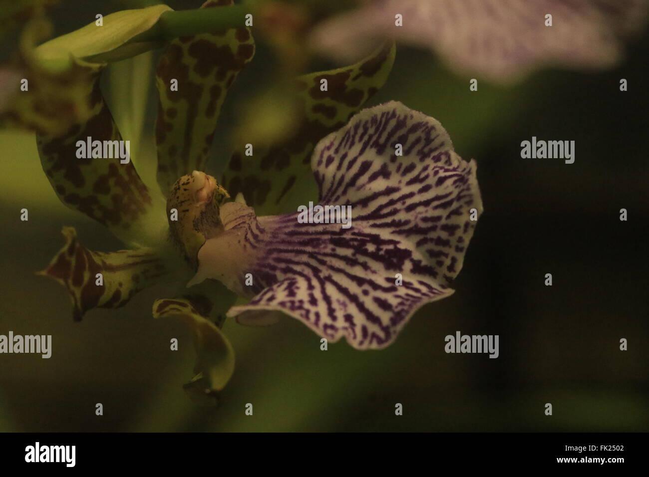 Repéré la pintade, Maxillaria Maxillaria ou meleagris, trouvés au Mexique Banque D'Images