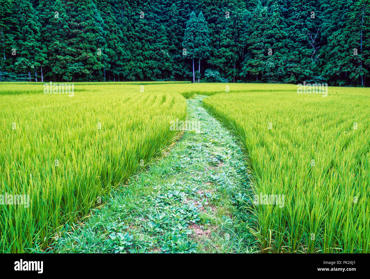 Un champ de riz dans la région de Tohoku au nord de Sendai au Japon Photo Stock