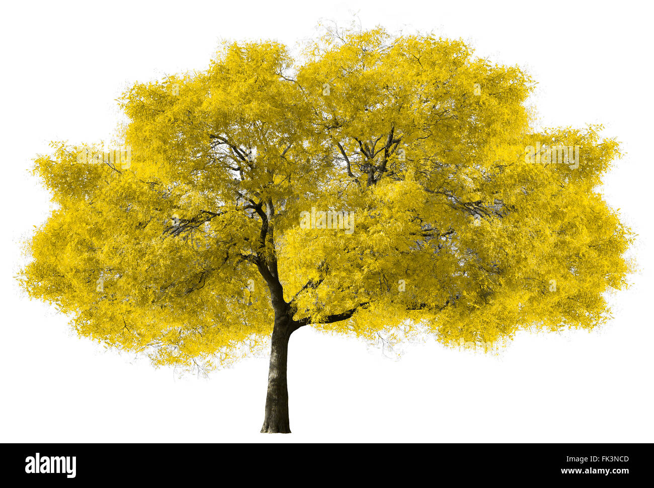 Grand arbre jaune isolé sur fond blanc Photo Stock