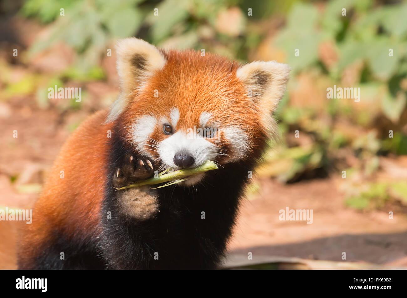 Le panda rouge (Ailurus fulgens), province du Sichuan, Chine, Asie Photo Stock