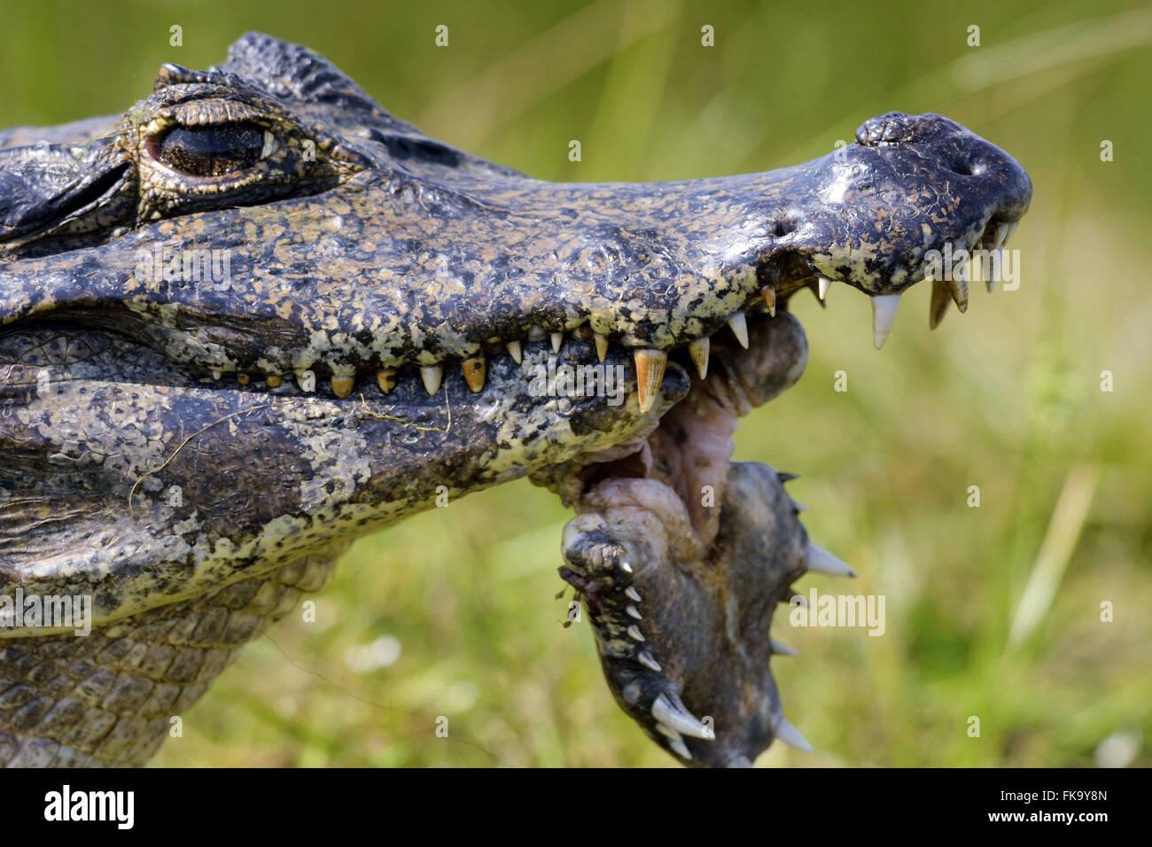 Jacare avec blessures dans le Pantanal Sud Photo Stock