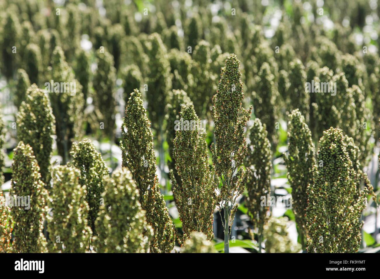 Détail de mil en panicules dans la campagne de plantation Photo Stock