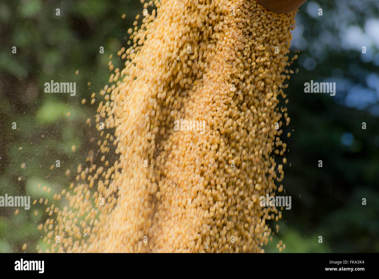Télécharger le soja en milieu rural Photo Stock