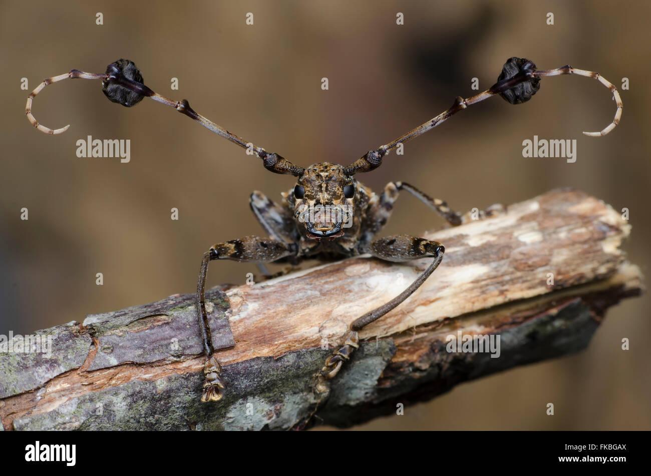 Longhorn beetle Photo Stock