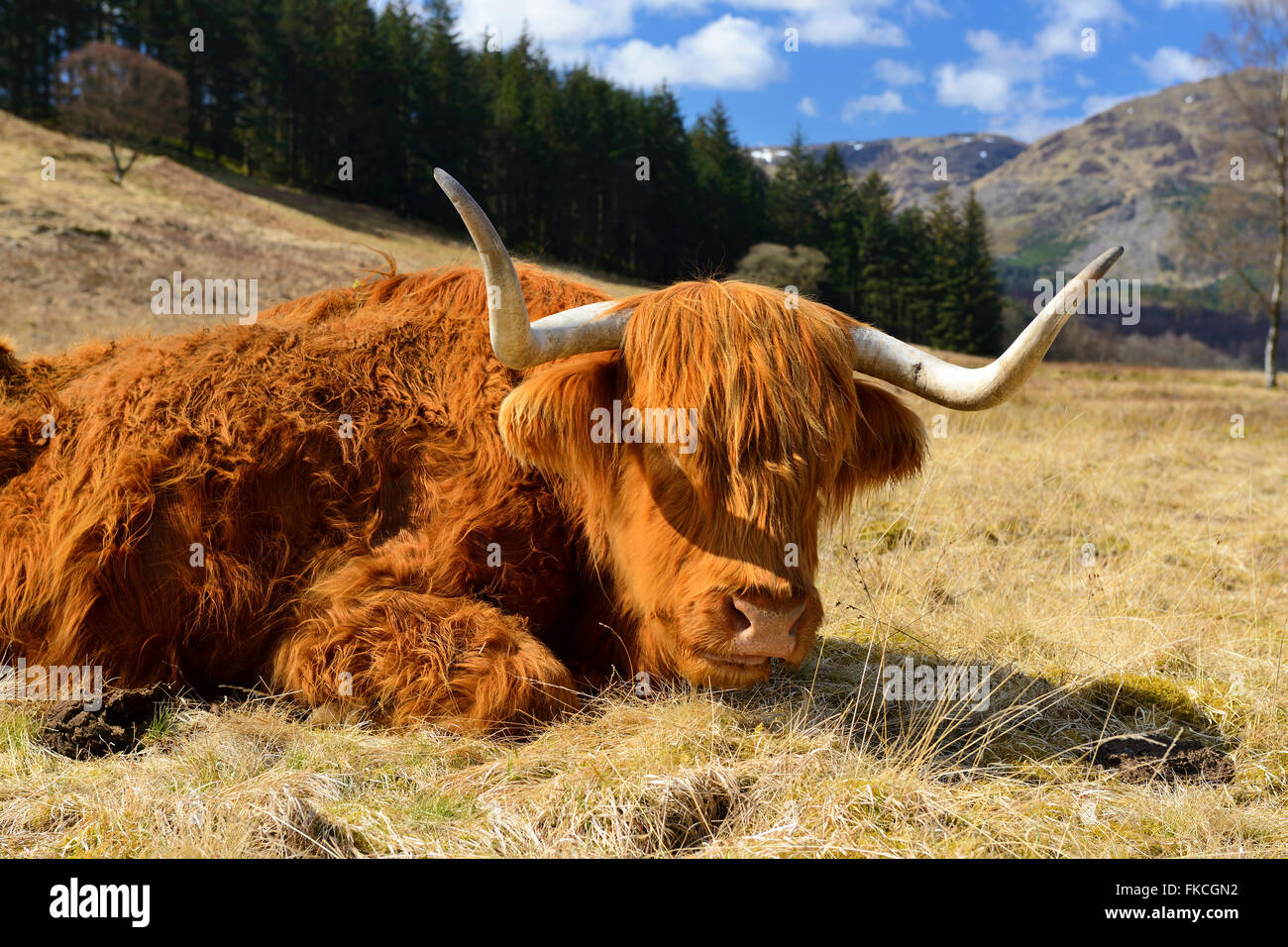 Vache Highland fixant, Forest Drive Achray, Trossachs, Ecosse, Royaume-Uni Photo Stock