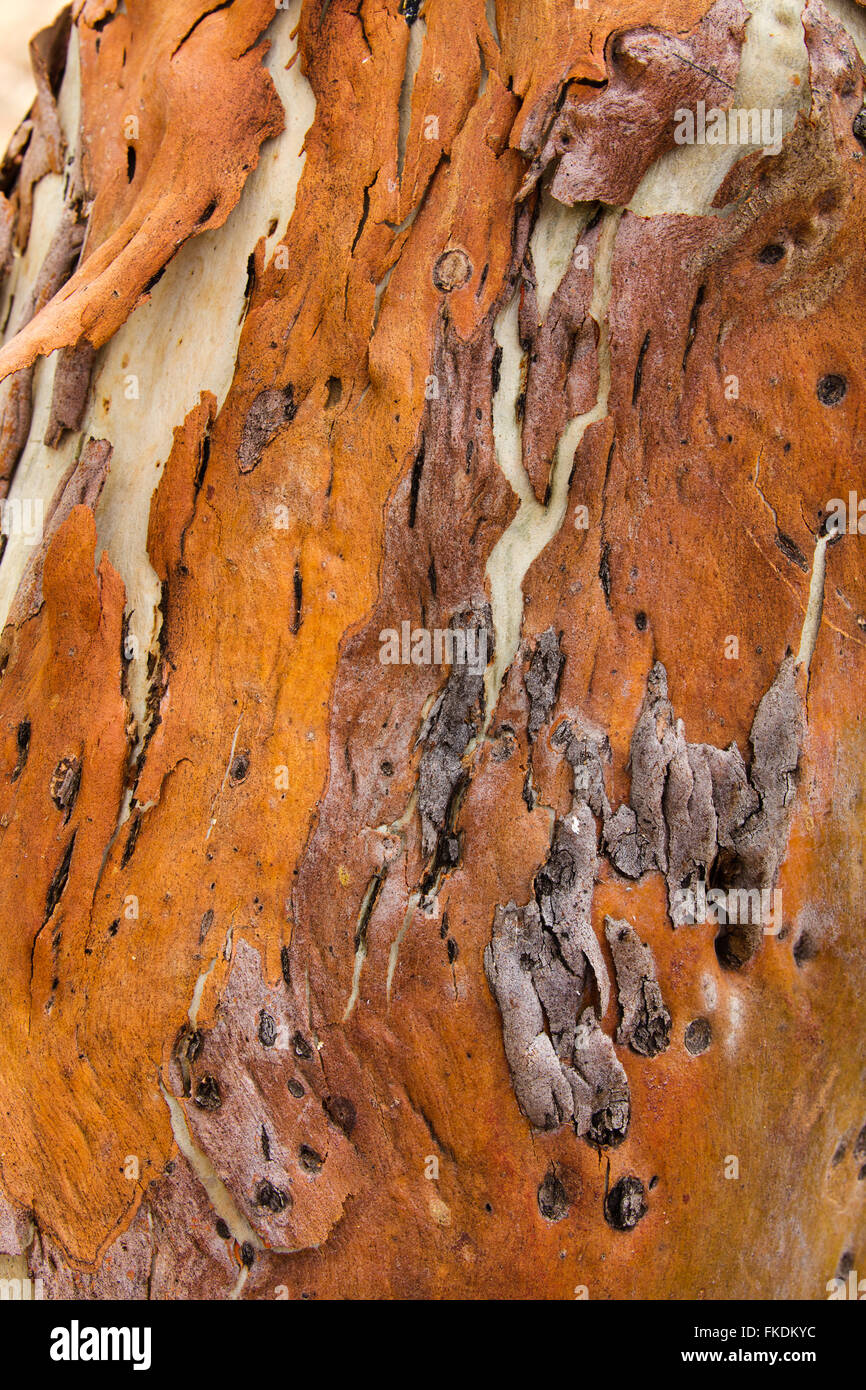 Textures d'écorce dans la gorge de la rivière Murchison à Ross Graham, le Parc National de Kalbarri, Photo Stock