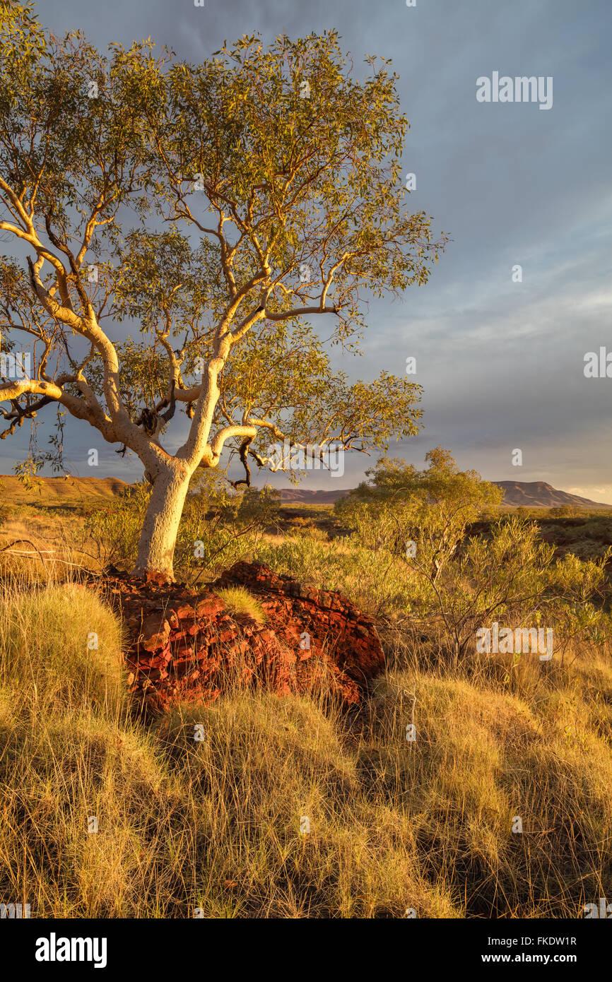 Un eucalyptus dans la dernière lumière du jour, Hamersley Gorge, parc national de Karijini, Pilbara, Australie Photo Stock
