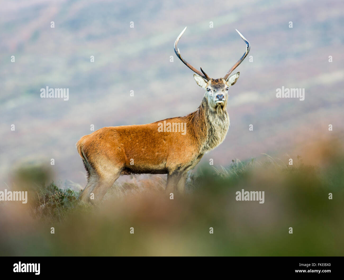 Les jeunes red deer stag Photo Stock