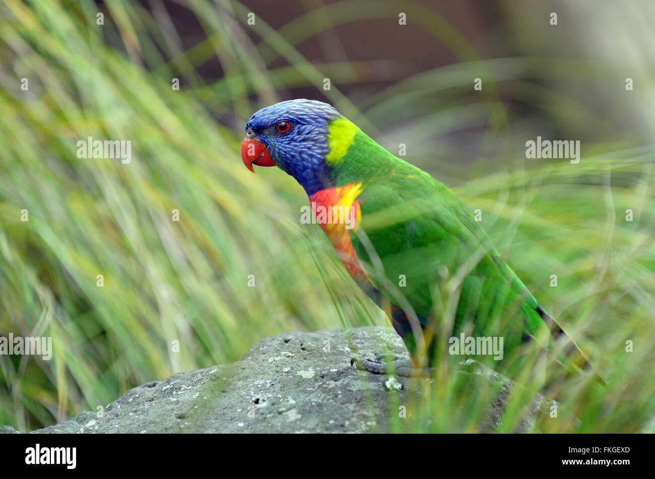 Rainbow lorikeet (Trichoglossus moluccanus) est une espèce d'trouvés en Australie. Banque D'Images