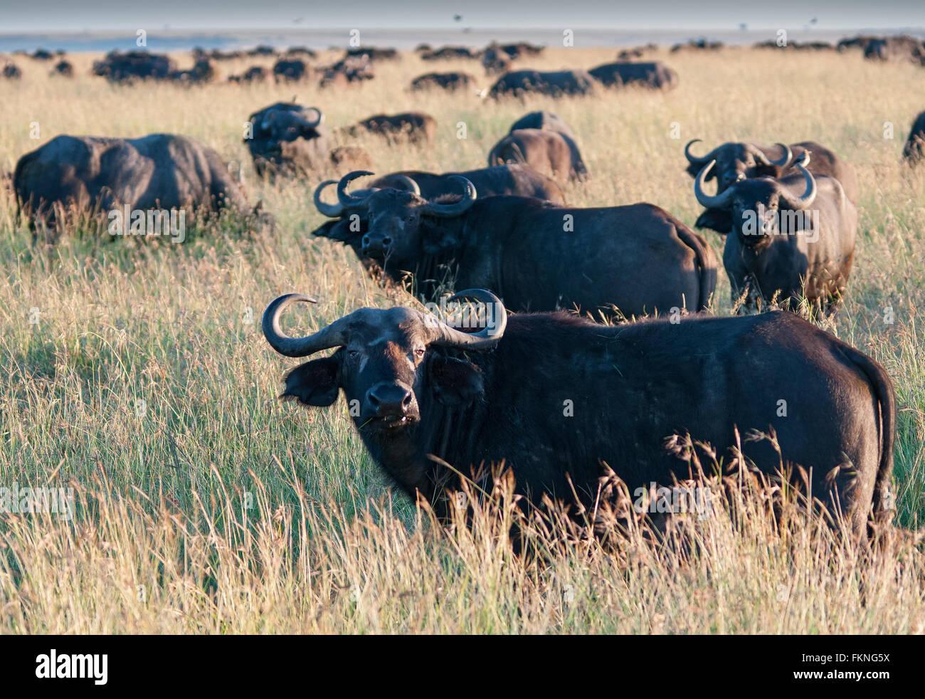 Troupeau de buffle (Syncerus caffer), Masai Mara National Reserve, Kenya, Afrique de l'Est Photo Stock