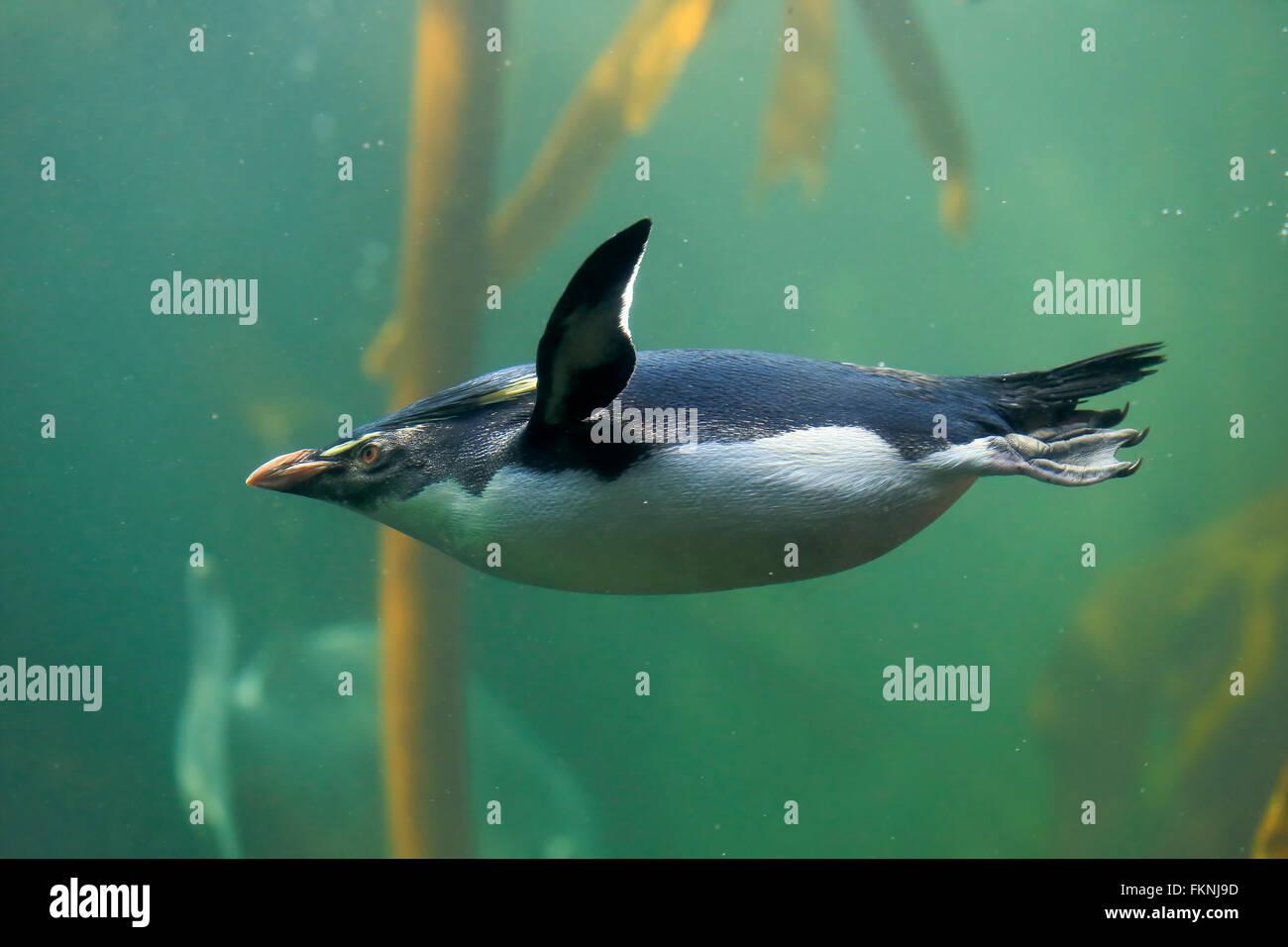 Rockhopper Penguin, Afrique du Sud, Afrique / (Eudyptes chrysocome) Photo Stock
