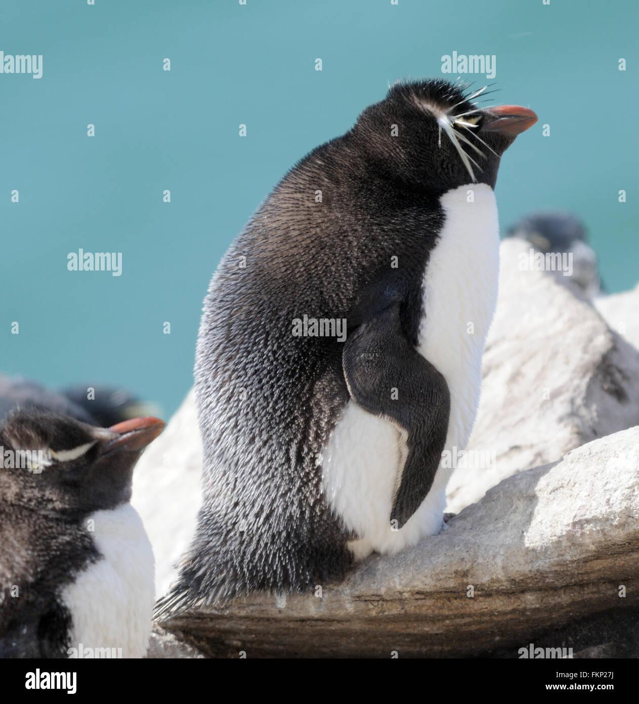 Le Sud Rockhopper Penguin, Eudyptes chrysocome chrysocome) (à la colonie de nidification sur l'Île Photo Stock