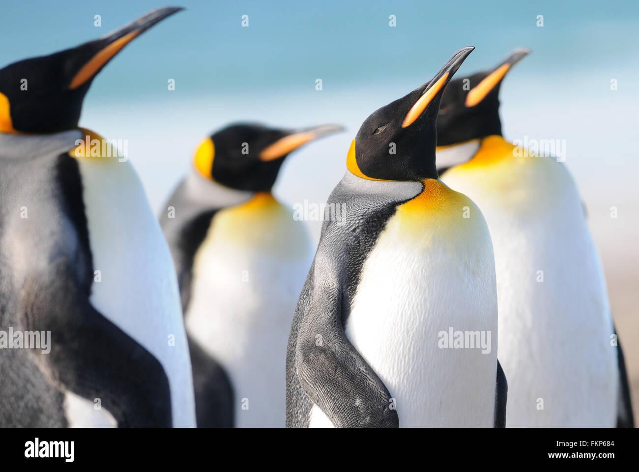 Le manchot royal (Aptenodytes patagonicus). L'Île Saunders, Îles Falkland Banque D'Images