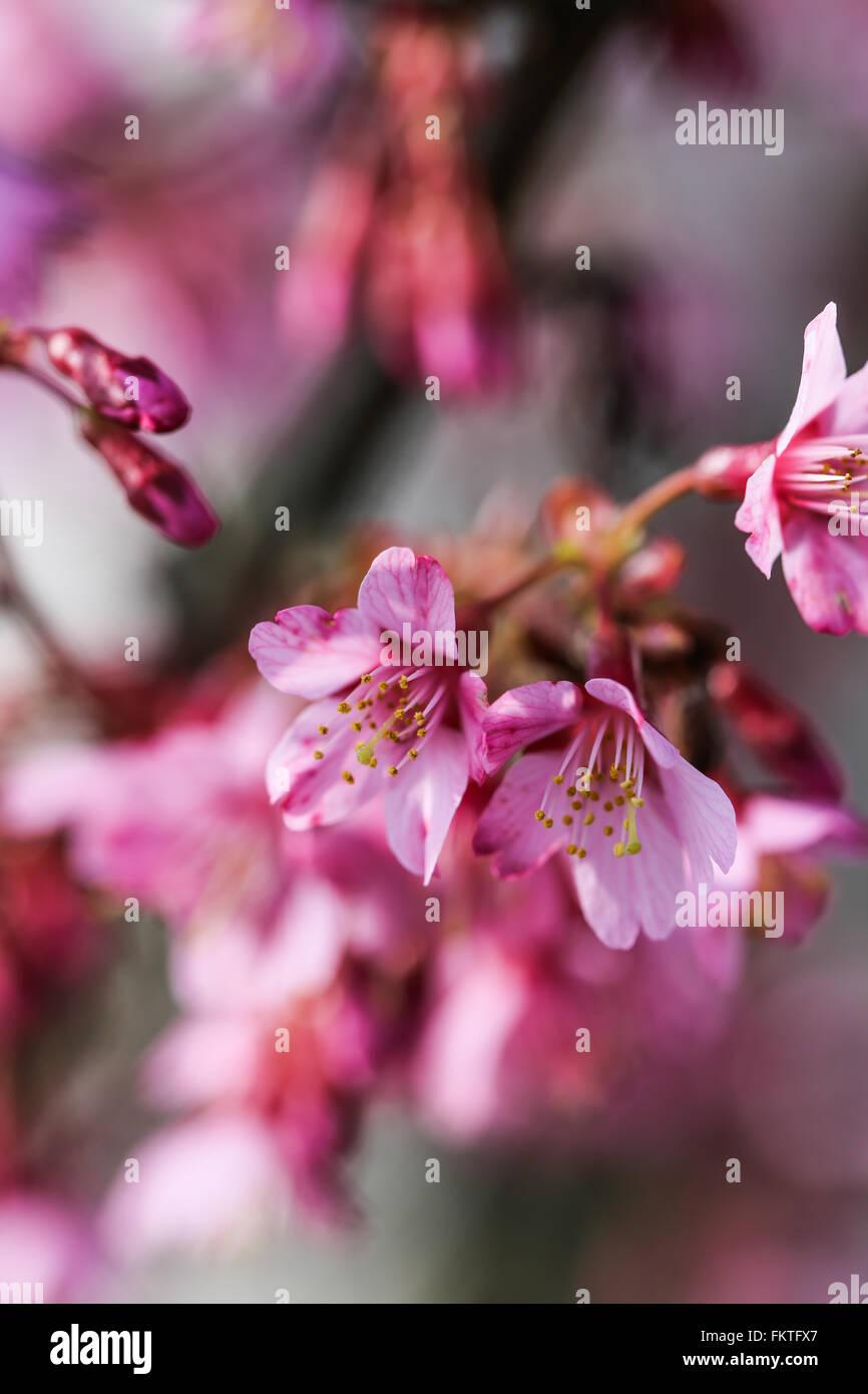 D'arbres en fleurs, frais au printemps avec des fleurs roses Photo Stock
