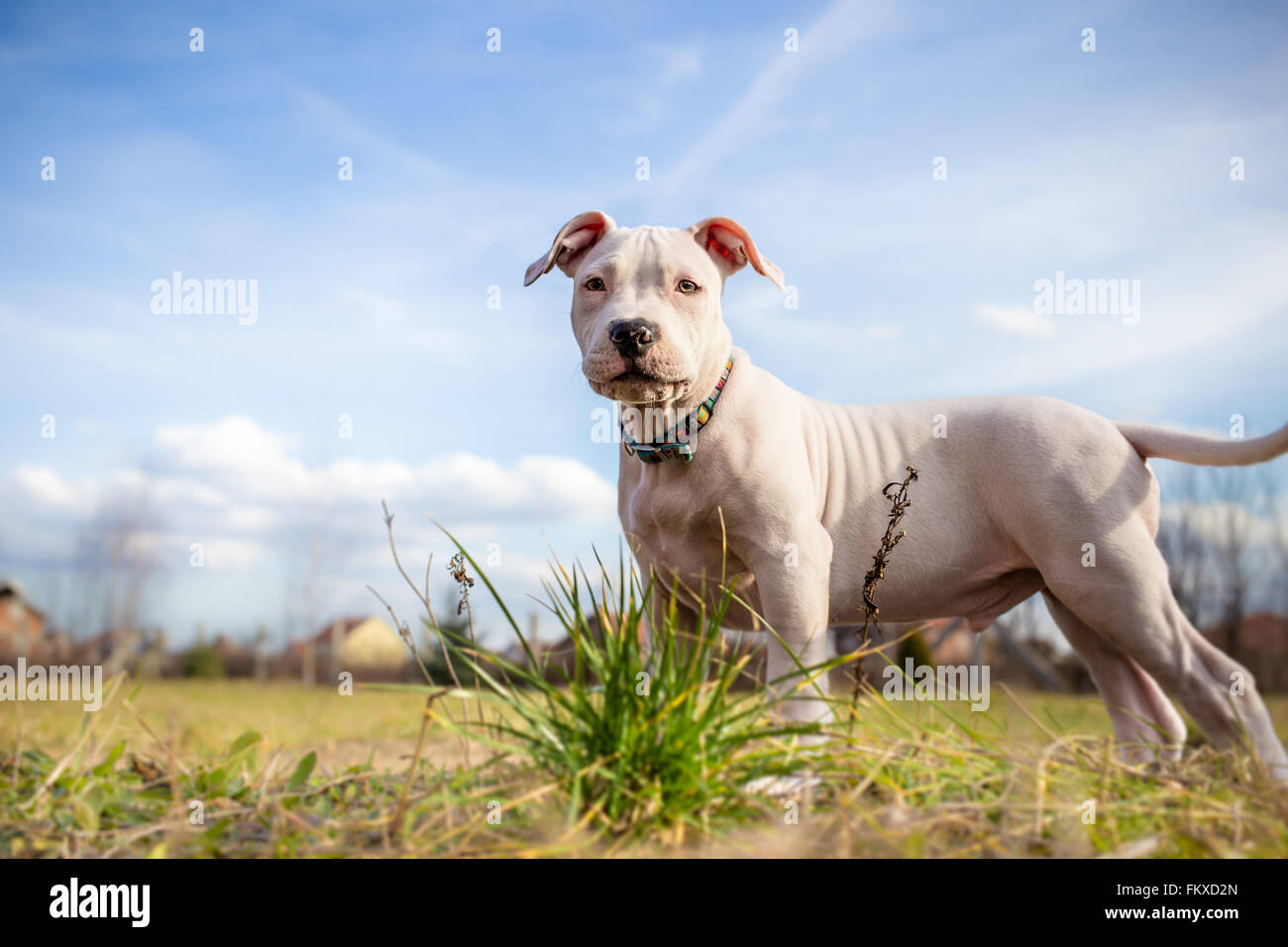 White American Staffordshire terrier puppy standing on grass Banque D'Images