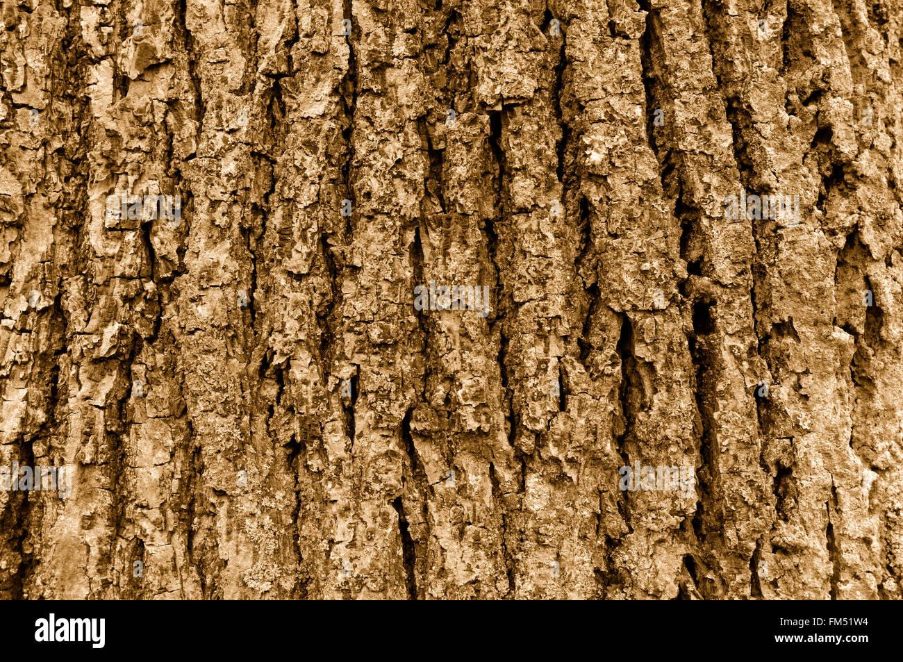 Close up de cèdre de l'écorce des arbres en sépia Photo Stock
