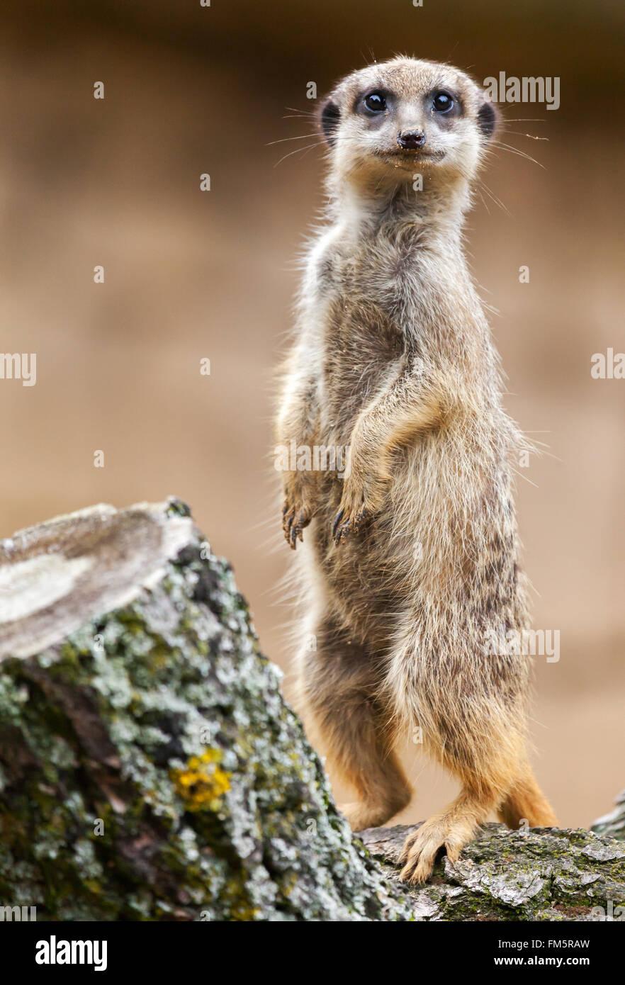 Meerkat se dresse sur bois et ressemble à l'appareil photo Photo Stock
