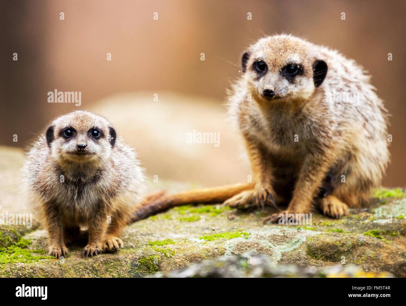 Deux suricates assis sur la pierre et à la recherche de l'appareil photo Photo Stock