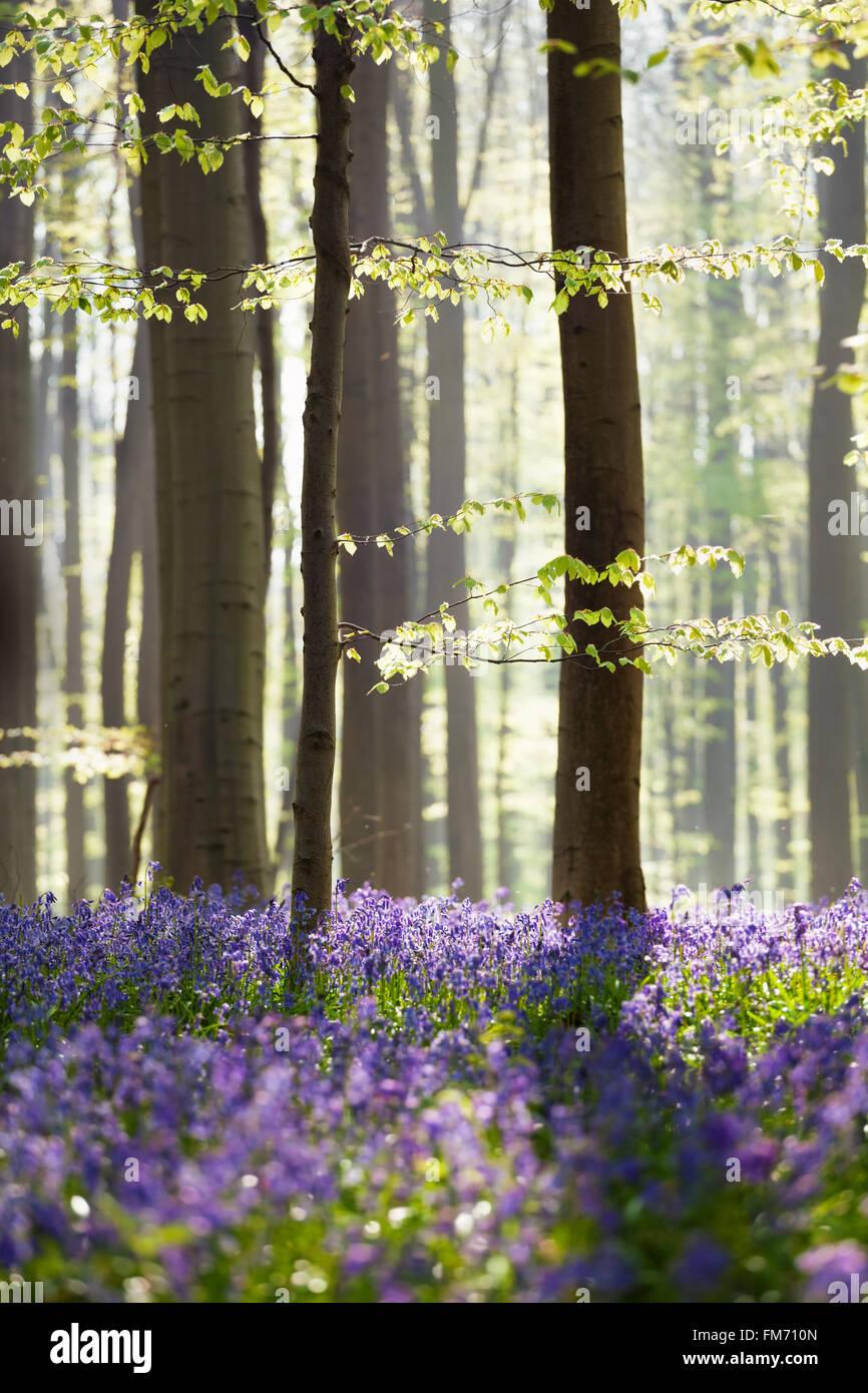 Bluebell des fleurs au printemps, la forêt Hallerbos, Belgique Photo Stock