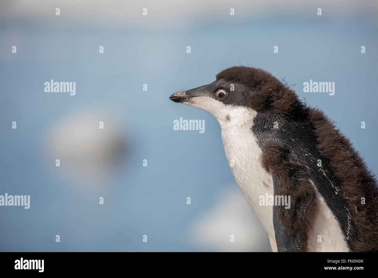 L'antarctique, péninsule antarctique, Brown Bluff. Adelie penguin, chicknature Photo Stock