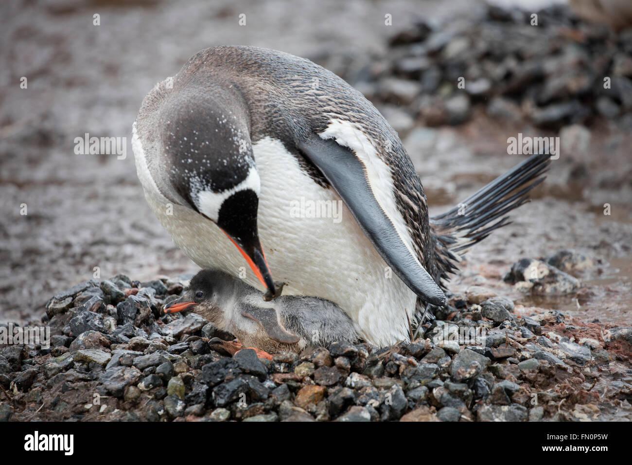 L'antarctique, péninsule antarctique, Port Lockroy, Gentoo pingouin, des profils avec chick sur son nid Banque D'Images