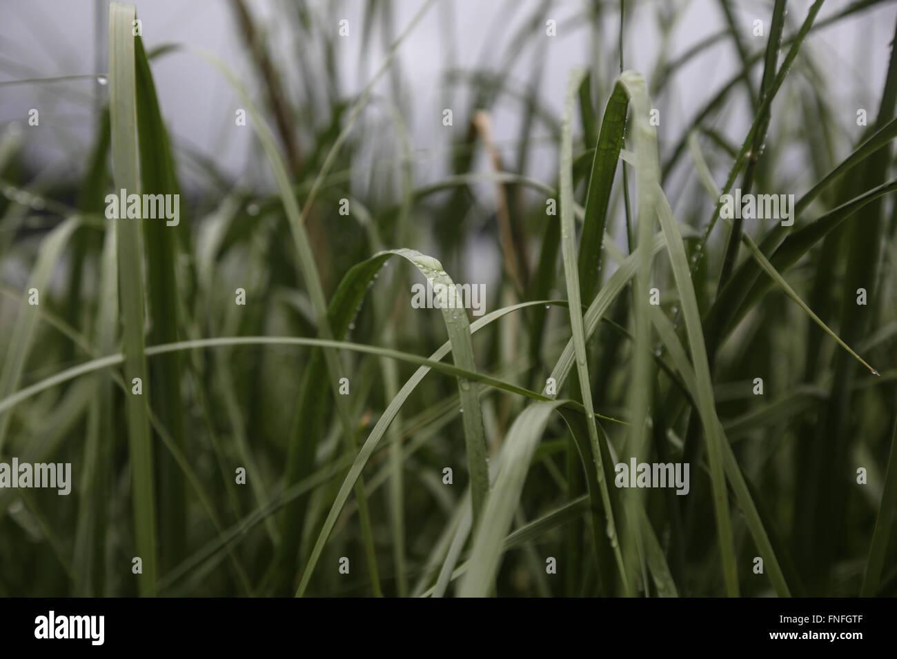 Début de la rosée du matin sur les lames d'herbe Photo Stock
