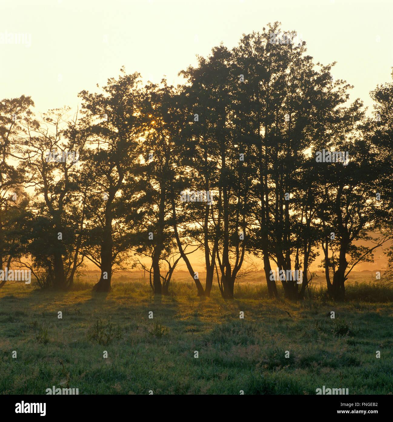 Holland, paysage avec des arbres à l'aube Photo Stock