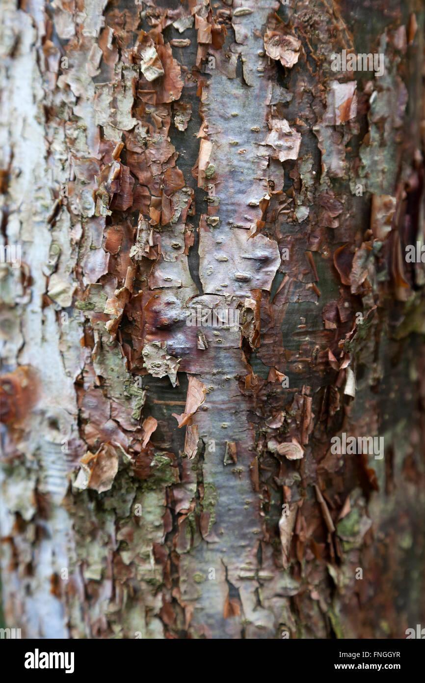 Peler l'écorce de l'arbre Gumbo Limbo Photo Stock