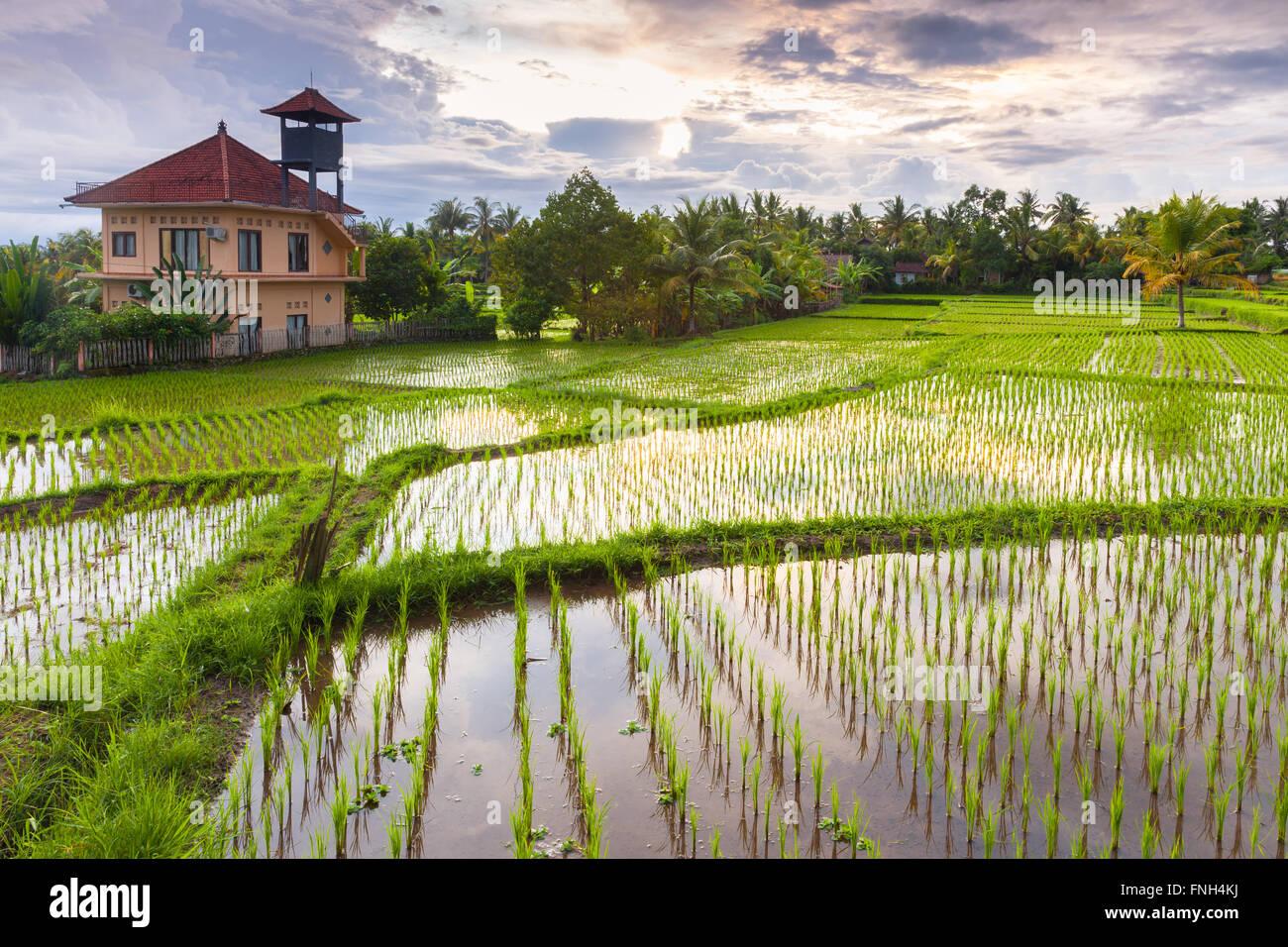 Magnifique coucher de soleil sur le champ de riz, Ubud, Bali, Indonésie. Photo Stock