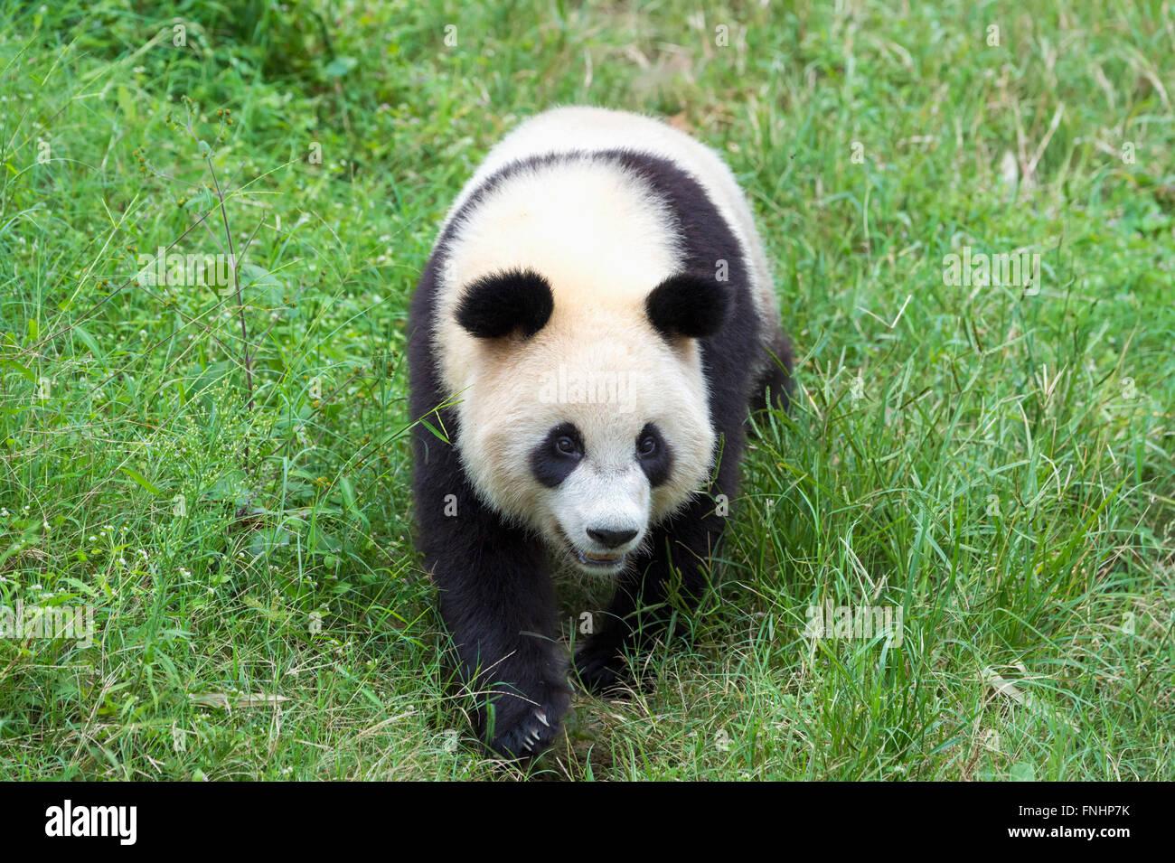 Panda géant (Ailuropoda melanoleuca), de la Chine et de Conservation Centre de recherche pour les pandas géants, Photo Stock