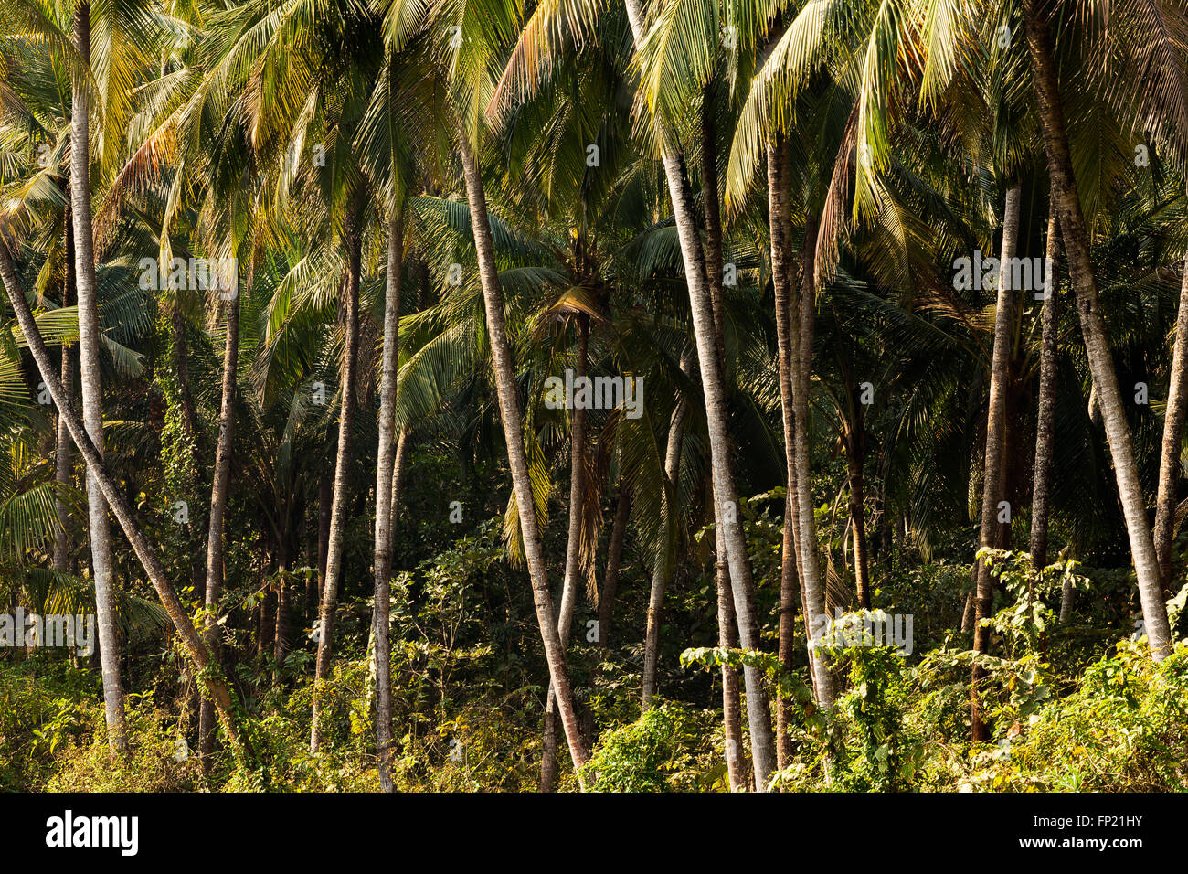 Cocotier jungle Photo Stock