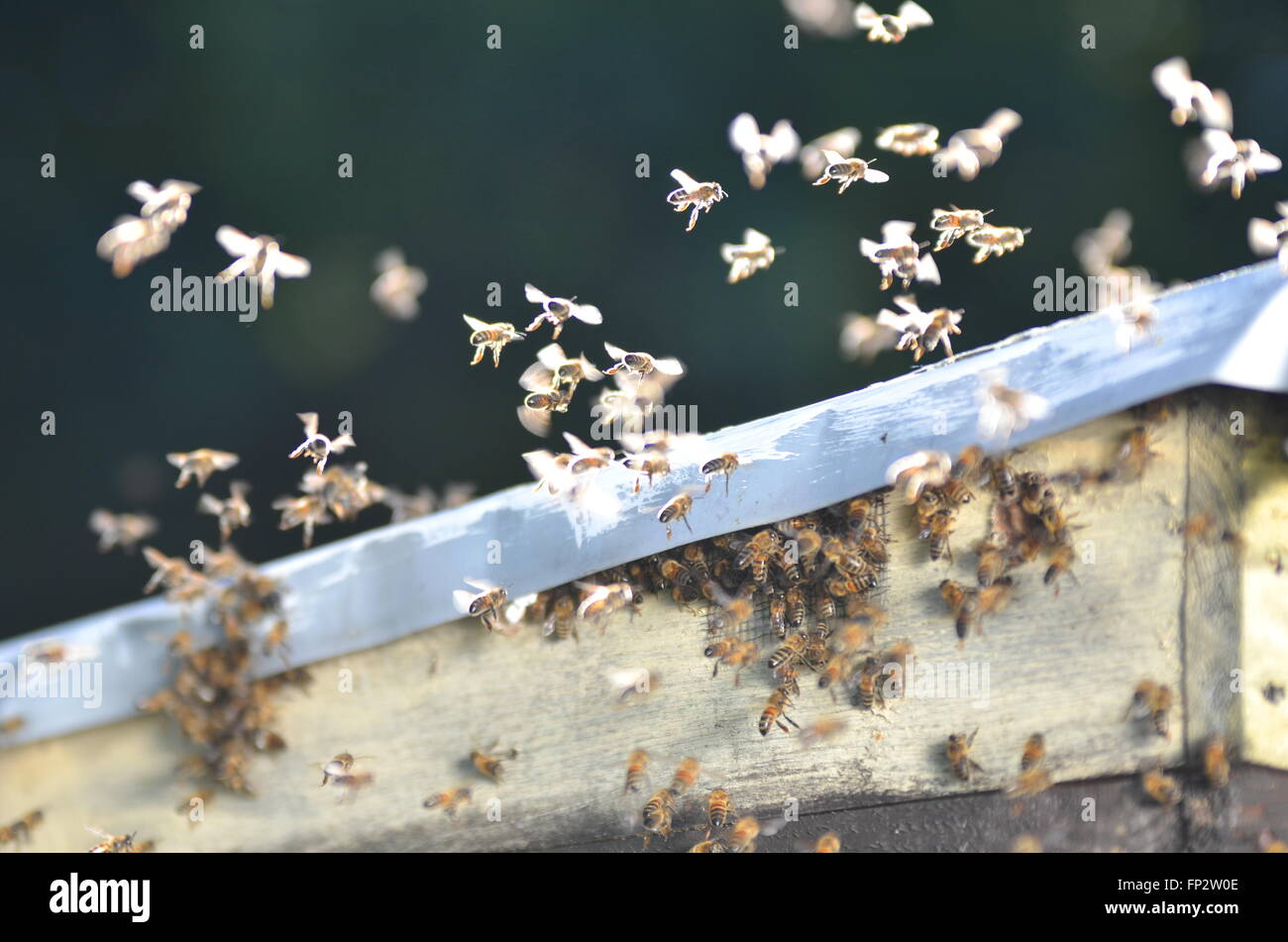 Essaim d'abeilles volant dans le rucher Photo Stock