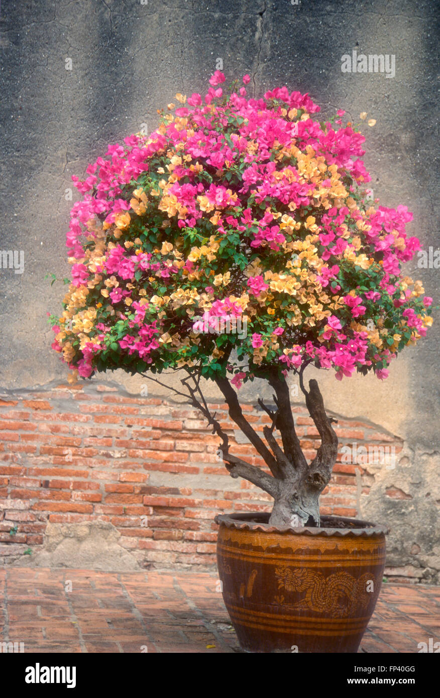 orange et rose bougainvillier en pot de jardin banque d'images